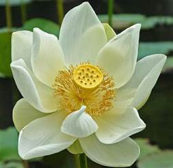 Meaning Of The Lotus Flower In Hinduism Lotus Flower Meaning And Symbolisms