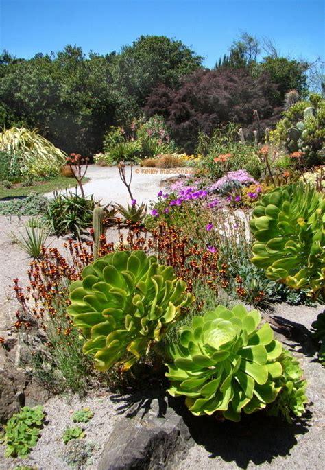 Botanical Gardens Fort Bragg Ca Plantfiles Pictures Aeonium Aeonium Undulatum By Bagel K