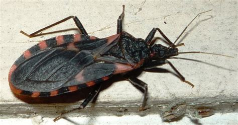 do bed bugs suck blood blood sucking conenose bugs and the transmission of chagas disease what s that bug