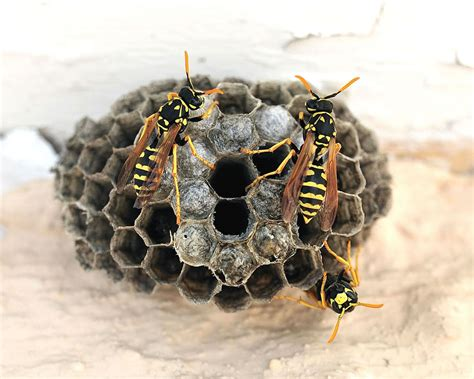 How To Make Paper Wasps - other common wasps napa county mosquito abatement district
