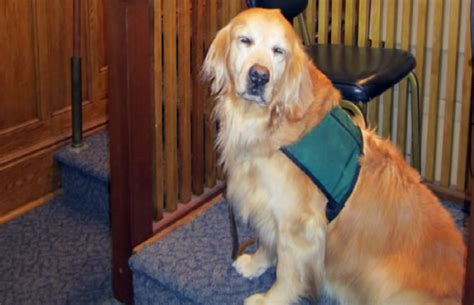 comfort dog laws illinois could allow dogs in courtrooms to comfort