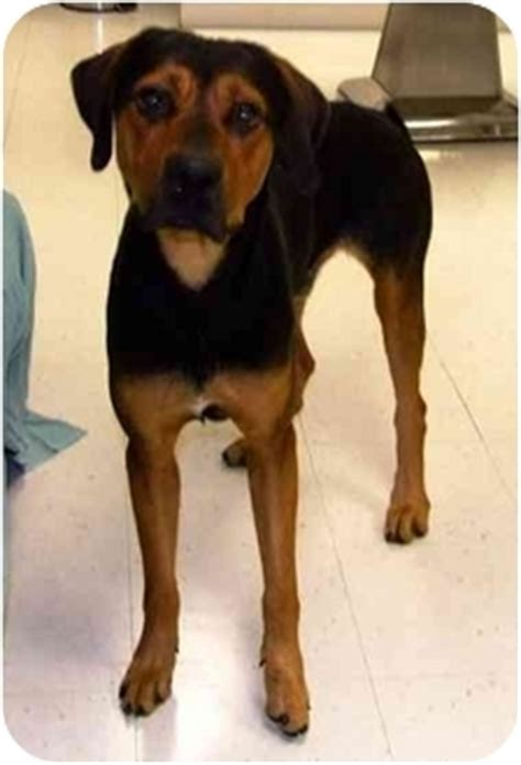 coonhound rottweiler mix thai adopted batavia oh rottweiler black and coonhound mix