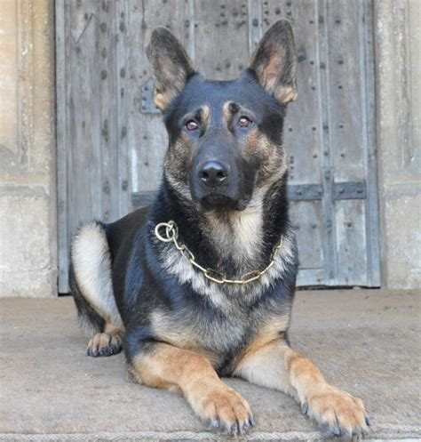 family protection for sale family protection dogs for sale uk k9 protector