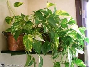 le pothos une plante d int 233 rieur facile 224 vivre le
