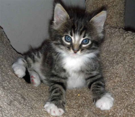 maine coon tabby mix kittens www imgkid com the image