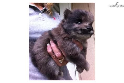 teacup pomeranian for sale in houston pomeranian puppies for sale houston breeds picture