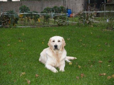prix golden retriever accueil elevage du domaine d ulane eleveur de chiens golden retriever