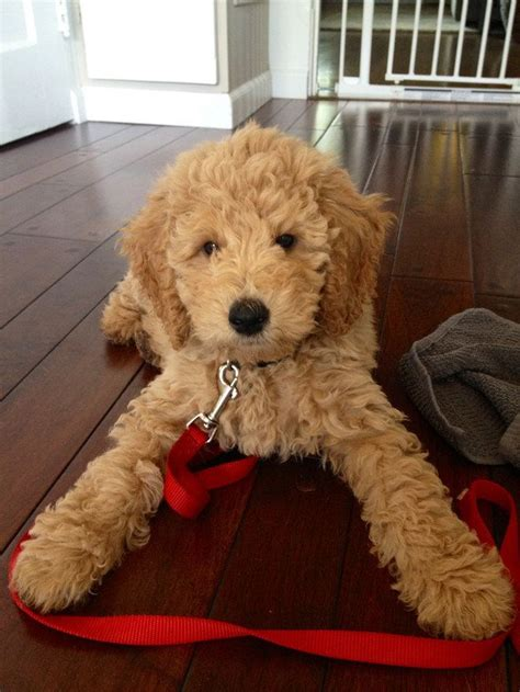 goldendoodle teddy bear cut 12 reasons why you should never own goldendoodles