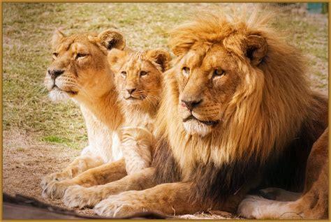 imagenes leones del ccs fotos de leones en familia archivos imagenes de leones