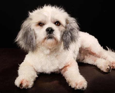 havanese information havanese breeders in saskatchewan canada on pickapawhavanese in saskatchewan