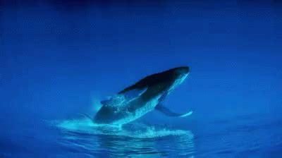 wale gif upside down humpback whale gif whale ani animal gifs