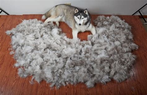 Do Siberian Husky Shed by How To Deal With Shedding Siberian Husky Siberianhusky