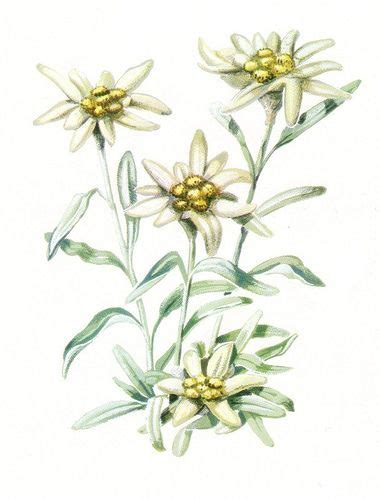 edelweiss fiore alpino 41 best stella alpina images on mountains