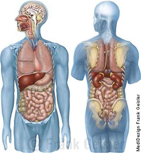 anatomie innere organe krperbau des menschen innere organe new calendar