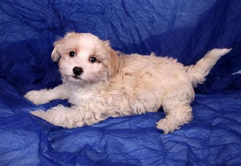 havanese st louis adopt willis cotonese a white coton de tulear havanese mixed in st white