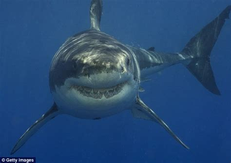 can sharks see color shows two great white sharks in the waters cape