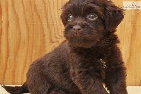 havanese breeders bc brown havanese puppies www imgkid the image kid has it