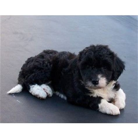 bordoodle puppies bordoodle border collie poodle cross this will be my puppy one day soon