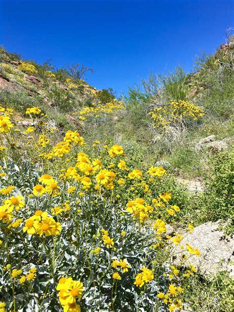 anza borrego super bloom 11 super photos from super bloom anza borrego desert state