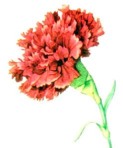 ohio oh state flower list of 50 state floweres of the file carnation ngm xxxi p507 jpg wikimedia commons