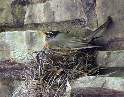 17 best images about robin s robins on pinterest birds