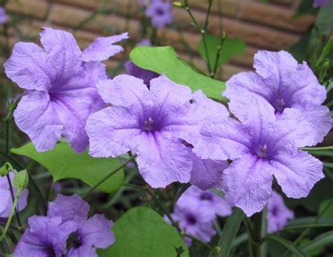 Tanaman Hias Ruellia daftar nama bunga lengkap beserta gambar dan penjelasannya