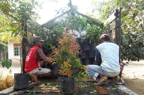 Bibit Bunga Benih Akasia dinomarket 174 pasardino bibit bunga pucuk merah murah
