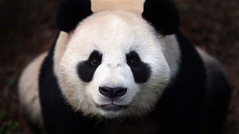 wallpaper panda panda bears hd desktop wallpaper hd desktop wallpaper