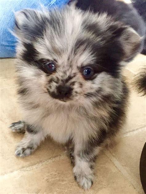 pomeranian blue merle 25 best blue merle pomeranian ideas on blue pomeranian pomeranian puppy