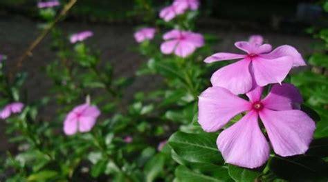 Bibit Tanaman Anti Nyamuk 4 jenis bunga pengusir nyamuk bibit