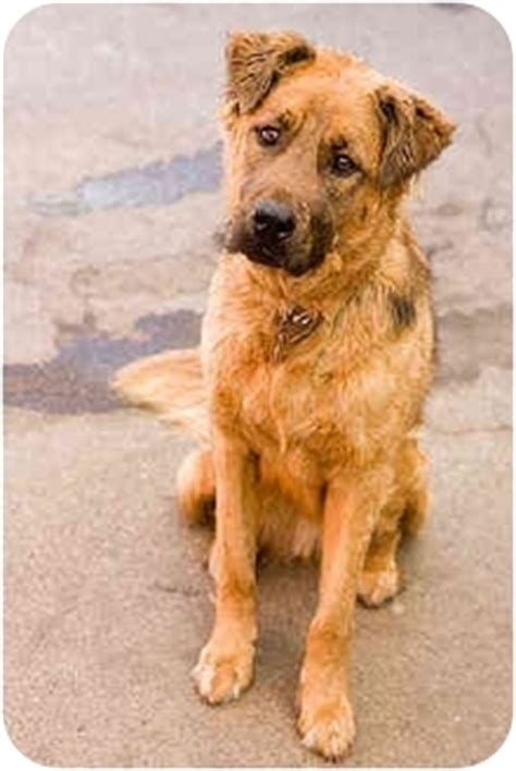 briard mix nemo adopted dog portland or golden retriever