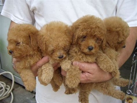 poodle puppies for adoption poodles for adoption breeds picture