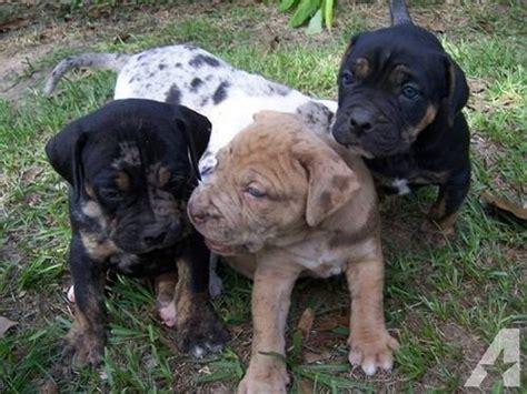 catahoula bulldog puppies catahoula bulldog catahoula leopard american bulldog mix info and pictures