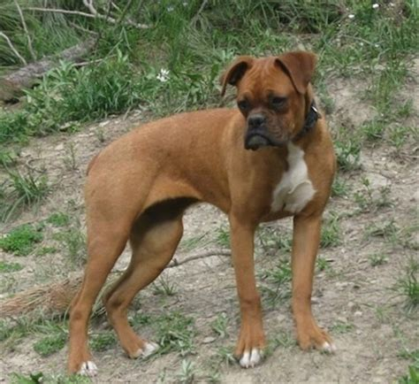 boxer facts miniature boxer breed information and pictures