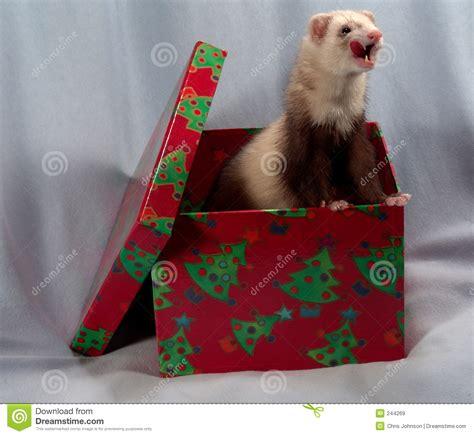 ferret   box royalty  stock images image