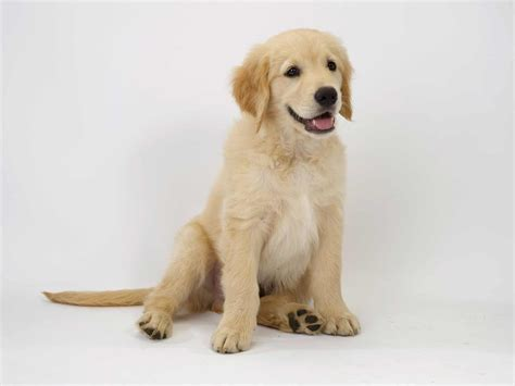 what breed is a golden retriever golden retriever breed 187 information pictures more