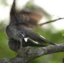 Jual Pakan Burung Perkutut menjodohkan perkutut jual kutut bangkok