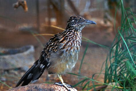 file greater roadrunner new mexico s state bird jpg