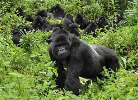 All About Animal Wildlife: Gorilla Animal Information and ...
