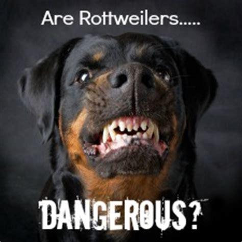 are rottweilers dangerous rottweiler behavior the real rottweiler temperament