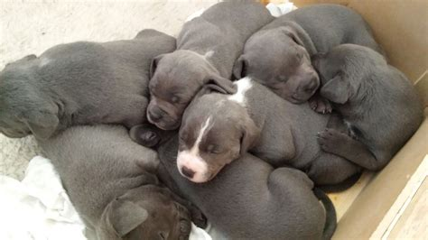 staffordshire bull terrier puppies for sale blue staffordshire bull terrier puppies for sale 20130904084648jpg breeds picture