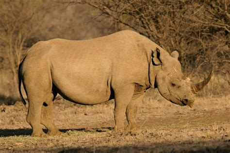 rhino facts animal facts encyclopedia
