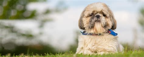 shih tzu breed characteristics shih tzu breed health history appearance temperament and maintenance