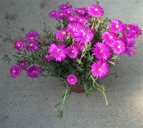 piante perenni fiorite piantine fiorite perenni da vaso appeso forum di