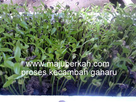 Bibit Durian Bawor Purworejo budidaya bibit tanaman bibit jabon investasi durian
