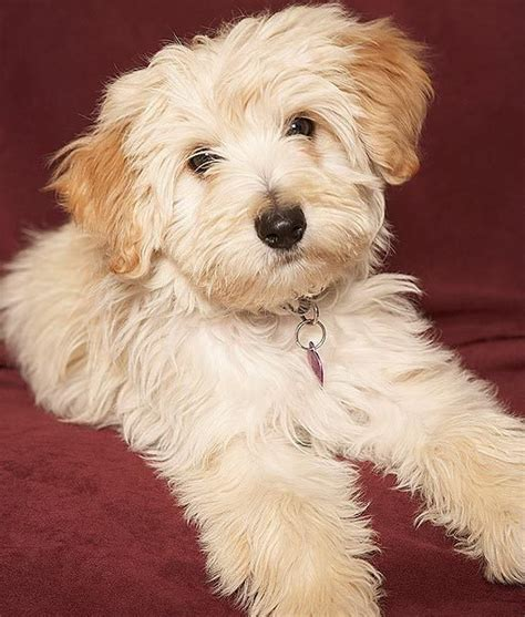 havanese shedding 12 breeds for apartment dwellers dogs tips advice me