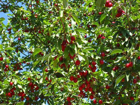 cherry tree cherry tree fruits cherry tree