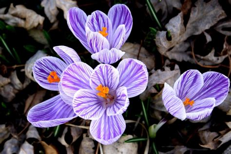 fiore croco foto gratis croco fiore viola bianco petali righe