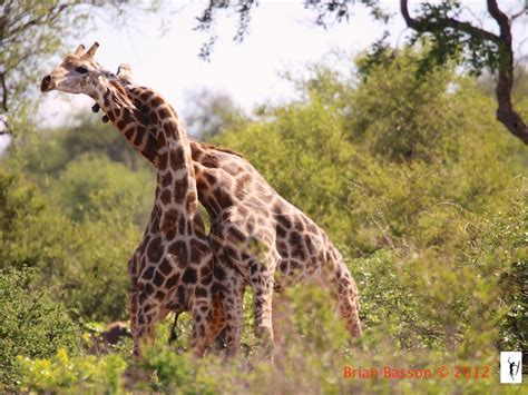 imagenes de jirafas grandes por qu 233 las jirafas tienen el cuello tan largo o nada