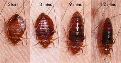 pictures of bed bugs in hair picture of bed bugs anatomy and diagram